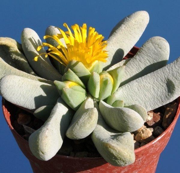 Цветок Glotiphyllum oligocarpum