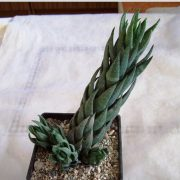 Haworthia coarctata f. greenii купить Киев